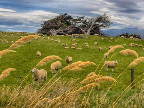 außergewöhnlicher Urlaub - Schafe in Neuseeland